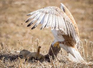 Natyra e egër: Ketri i bën rezistencë fajkoit… [foto]