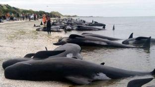 Garë njerëzish për të shpëtuar 400 balenat e ngecura në plazhin e Zelandës së Re [video]
