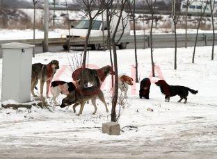 """""""Vrapi mëngjesor"""" i qenve endacakë në kryeqytet [video]"""